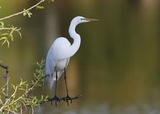 Great Egret in breeding plumage perched at the edge of a pond. Great Egret Ardea alba in breeding plumage perched at the edge of a pond - Venice, Florida Stock Images