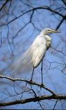 Great Egret royalty free stock photos