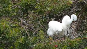 Great egret building nest stock video footage