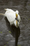 Great egret with a bullhead catfish in its bill, Florida. Great egret, Ardea alba, standing in the water with a bullhead catfish in its bill at Corkscrew Swamp Royalty Free Stock Photography