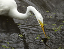 Great egret with a bullhead catfish in its bill, Florida. Great egret, Ardea alba, standing in the water with a bullhead catfish in its bill at Corkscrew Swamp Stock Images