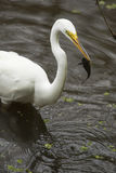 Great egret with a bullhead catfish in its bill, Florida. Great egret, Ardea alba, standing in the water with a bullhead catfish in its bill at Corkscrew Swamp Royalty Free Stock Photo