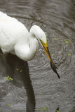 Great egret with a bullhead catfish in its bill, Florida. Great egret, Ardea alba, standing in the water with a bullhead catfish in its bill at Corkscrew Swamp Stock Image