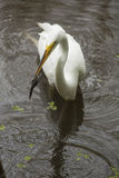 Great egret with a bullhead catfish in its bill, Florida. Great egret, Ardea alba, standing in the water with a bullhead catfish in its bill at Corkscrew Swamp Royalty Free Stock Image