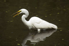 Great egret with a bullhead catfish in its bill, Florida. Side view of a Great egret, Ardea alba, standing in the water with a bullhead catfish in its bill at Royalty Free Stock Photos
