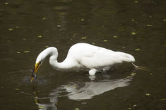 Great egret with a bullhead catfish in its bill, Florida. Side view of a Great egret, Ardea alba, standing in the water with a bullhead catfish crosswise in its Royalty Free Stock Image