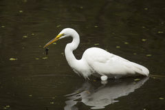 Great egret with a bullhead catfish in its bill, Florida. Side view of a Great egret, Ardea alba, standing in the water with a bullhead catfish dangling from Stock Photography