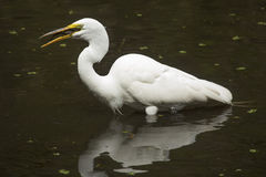 Great egret with a bullhead catfish in its bill, Florida. Side view of a Great egret, Ardea alba, standing in the water with a bullhead catfish in its throat at Stock Photos