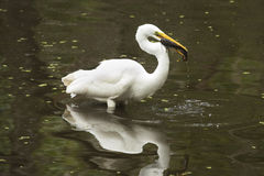 Great egret with a bullhead catfish in its mouth, everglades. Side view of a Great egret, Ardea alba, standing in the water with a bullhead catfish in its bill Stock Image