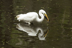 Great egret with a bullhead catfish in its mouth, everglades. Side view of a Great egret, Ardea alba, standing in the water with a bullhead catfish in its bill Stock Images