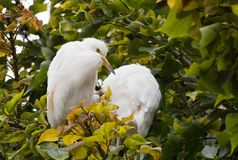 Great Egret birds Cababysmerodius albus young adult. Great Egret Cababysmerodius albus young adult with fuzzy head perched in a tree at Malibu Beach California Stock Image