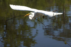 Great egret carrying a big branch for nesting material, Florida Royalty Free Stock Photo