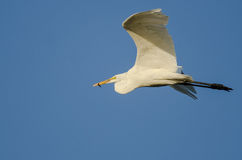 Great Egret Carrying a Caught Fish as it Flies in a Blue Sky Stock Photography