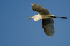 Great Egret Carrying a Caught Fish as it Flies in a Blue Sky Royalty Free Stock Photography