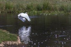 Great egret Casmerodius alba. Silberreiher auf Nahrungssuche im Beeder Bruch Royalty Free Stock Photo
