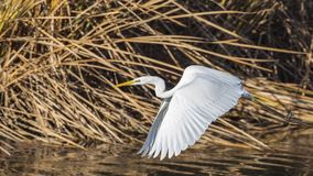 Great Egret Flying Through Reeds. Great egret Casmerodius albus is flying through reeds and bushes Royalty Free Stock Photos