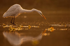 Great Egret Casmerodius albus Stock Photos