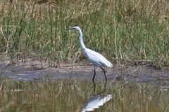 Great Egret, Casmerodius albus,national park Moremi, Botswana Stock Photo