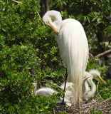 Great Egret (Casmerodius albus) Nest. Great egret (Casmerodius albus) with chicks in a nest at the High Island rookery, High Island, Texas Stock Photo