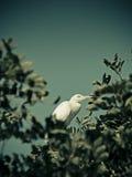 Great egret casmerodius albus Stock Photography