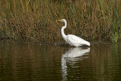 Great Egret (Casmerodius albus). A Great Egret walks through shallow water looking for food in an inland pond Royalty Free Stock Photography