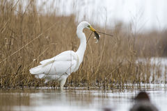 Great Egret catch a fish in the pond Stock Photography