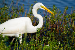 Great Egret catches minnow. Great Egret fishting on pond in Monroe GA Stock Photo