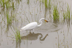 Great Egret Catching crawfish Stock Images