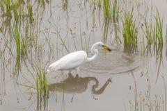 Great Egret Catching crawfish Stock Images