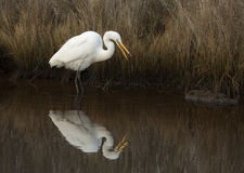 Great Egret Catching a Fish Stock Photo