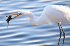 Great Egret Catching Fish Royalty Free Stock Images
