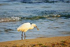 Great egret catching fish on the seashore. Beautiful white heron with a broken leg catches a small fish in the sea by the shore,Varna Black Sea Coast Bulgaria Stock Photos