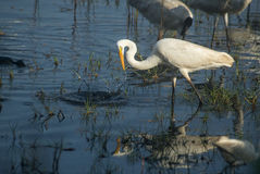 Great Egret Catching Fish Royalty Free Stock Image