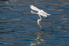 Great Egret caught fish. In flight Stock Photos