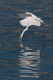 Great Egret caught fish. In flight royalty free stock images
