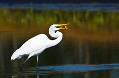 Great Egret With Caught Fish in Autumn Royalty Free Stock Photos
