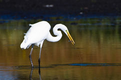 Great Egret With Caught Fish in Autumn Royalty Free Stock Photo