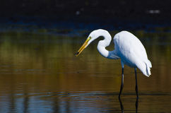 Great Egret With Caught Fish in Autumn Royalty Free Stock Image
