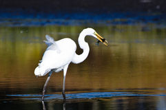 Great Egret With Caught Fish in Autumn Stock Image