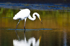 Great Egret With Caught Fish in Autumn Stock Photo