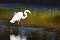 Great Egret With Caught Fish in Autumn Stock Images