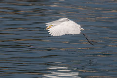 Great Egret caught fish. In flight Stock Image