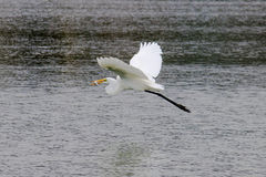 The Great Egret Caught fish and Flying at Malibu Beach in August. (Bird Stock Photography