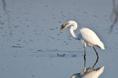 Great Egret With Caught Fish Stock Photo