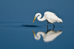 Great Egret With Caught Fish Royalty Free Stock Photos