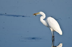 Great Egret With Caught Fish Stock Photos