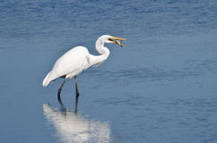 Great Egret With Caught Fish Stock Photography