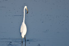 Great Egret With Caught Fish Royalty Free Stock Photography