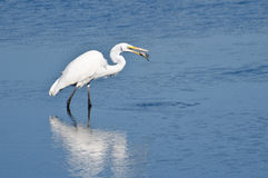 Great Egret With Caught Fish Stock Image
