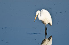 Great Egret With Caught Insect Royalty Free Stock Photo
